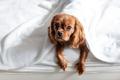 Funny dog under the blanket - PhotoDune Item for Sale
