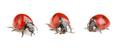 Seven-spot ladybugs - PhotoDune Item for Sale