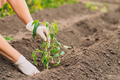 Woman hands in gloves Planting tomato sprouts in the ground - PhotoDune Item for Sale