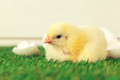 Little chicken on the grass. creative photo - PhotoDune Item for Sale