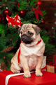pug with christmas gifts close up. creative photo - PhotoDune Item for Sale