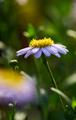 daisy in the garden - PhotoDune Item for Sale