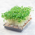 Homegrown cress salad, microgreens in plastic container, homegrown cress salad, square format - PhotoDune Item for Sale