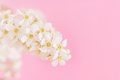 Blooming branch of bird cherry with white flowers in front of pink background close-up - PhotoDune Item for Sale