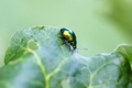 Mint leaf beetle, Chrysolina herbacea - PhotoDune Item for Sale