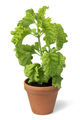 Ceramic plant pot with Basil Green Ruffles plant on white background - PhotoDune Item for Sale