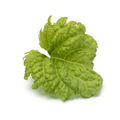 Single leaf of a Basil Green Ruffles plant on white background - PhotoDune Item for Sale