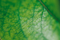 Texture of a green leaf as background sunny day macro photo - PhotoDune Item for Sale