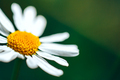 closeup of a perfect single daisy chamomile against a green background - PhotoDune Item for Sale