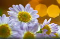 Daisy flower and warm light - PhotoDune Item for Sale