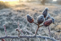 frozen rose - PhotoDune Item for Sale
