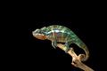 Rainbow  Panther chameleon isolated on black background - PhotoDune Item for Sale