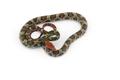 100 Flower rat snake isolated on white background - PhotoDune Item for Sale