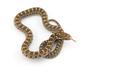 David's rat snake isolated on white background - PhotoDune Item for Sale