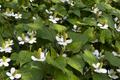 Fresh flowering Houttuynia cordata plants - PhotoDune Item for Sale