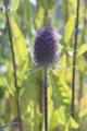 Fresh purple flowering Dipsacus teasel close up - PhotoDune Item for Sale