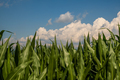 Young maize plants in sunset light. Corn field background - PhotoDune Item for Sale