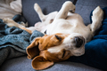 Beagle dog tired sleeps on a couch - PhotoDune Item for Sale