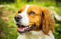 Brittany Spaniel dog outside - PhotoDune Item for Sale
