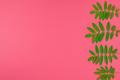 Green rowan tree leaves on bright pink background - PhotoDune Item for Sale