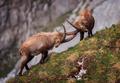 Alpine ibex in the morning - PhotoDune Item for Sale