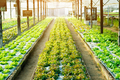 Hydroponic vegetable is planted in a organic farm. - PhotoDune Item for Sale