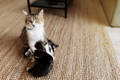 Tricolor mother female cat laying on the floor with kittens and nursing them - PhotoDune Item for Sale