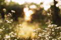 Blurred chamomile flowers on the yellow sunset in sun rays - PhotoDune Item for Sale