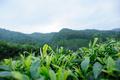 Green tea trees garden in spring - PhotoDune Item for Sale