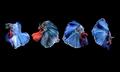 Beautiful red, blue and white Betta splendens, - PhotoDune Item for Sale