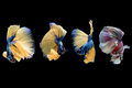 The Siamese fighting fish commonly known as betta is popular fish in the aquarium trade. - PhotoDune Item for Sale