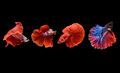 he Siamese fighting fish commonly known as betta is popular fish in the aquarium trade. - PhotoDune Item for Sale