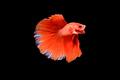 Siamese fighting fish Betta splendens on black background - PhotoDune Item for Sale