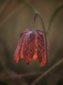 Spring flower at sunrise - PhotoDune Item for Sale