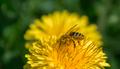 Dandelion and Bee - PhotoDune Item for Sale