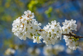 Cherry tree blossoming - PhotoDune Item for Sale