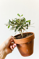 Hand holding pot with european Olive house plant - PhotoDune Item for Sale