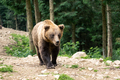 Brown wild bear portrait in green summer forest - PhotoDune Item for Sale