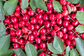 Cherry berry heap with leaves closep - PhotoDune Item for Sale