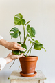 Man cleaning leaves, loves and cares for house plant - PhotoDune Item for Sale