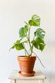 Variegated Monstera house plant in terracotta ceramic pot - PhotoDune Item for Sale