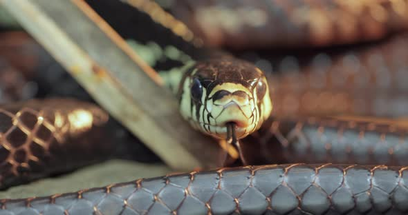 Spilotes Pullatus, Commonly Known As the Caninana,chicken Snake,yellow Rat Snake