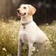 Barking Collie Dog