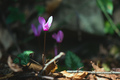 Cyclamen in the woods - PhotoDune Item for Sale