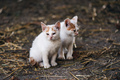 Two small white cats - PhotoDune Item for Sale