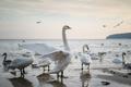 Swans on a sanndy beach - PhotoDune Item for Sale