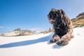 Italian shepherd dog - PhotoDune Item for Sale