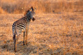 African Zebra - PhotoDune Item for Sale
