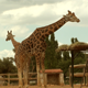 Giraffe - VideoHive Item for Sale