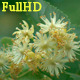 Inflorescences Lime - VideoHive Item for Sale